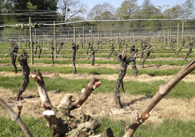 mature uk grap vines pruned for the winter