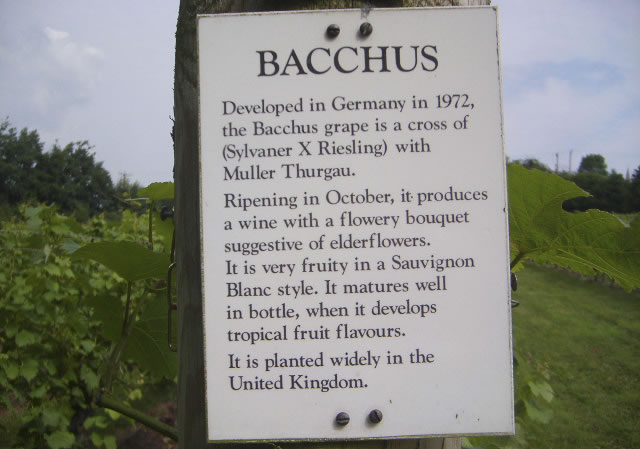 Bacchus - white wine grown on English vineyard