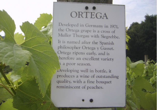 Ortega - white wine grown in English vineyard