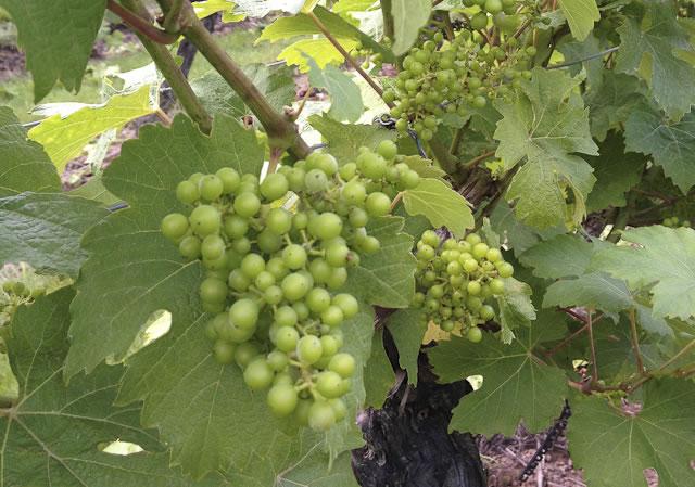 grapes growing on uk vineyard
