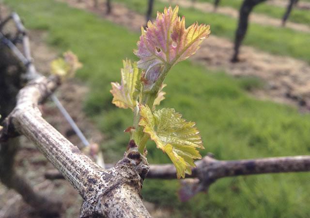 pruning grape vines uk