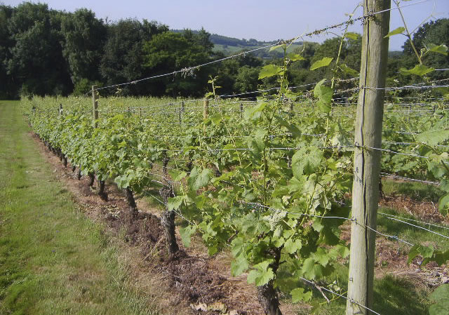 grape vines showing early summer growth