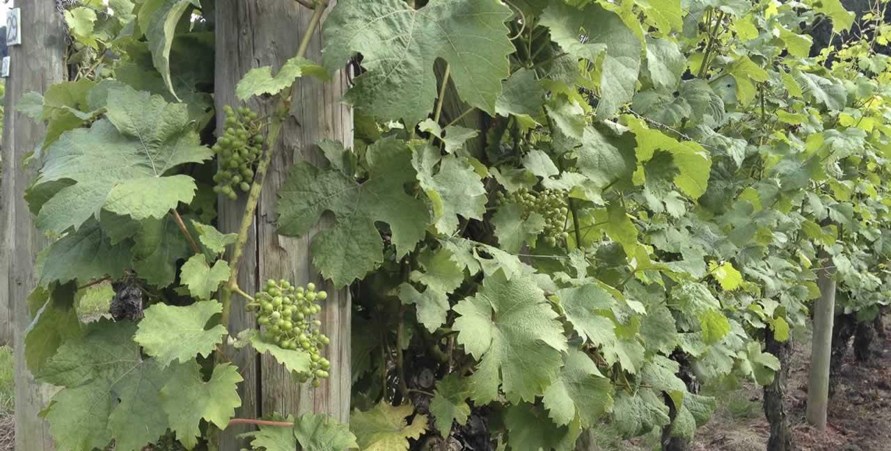 vines-close