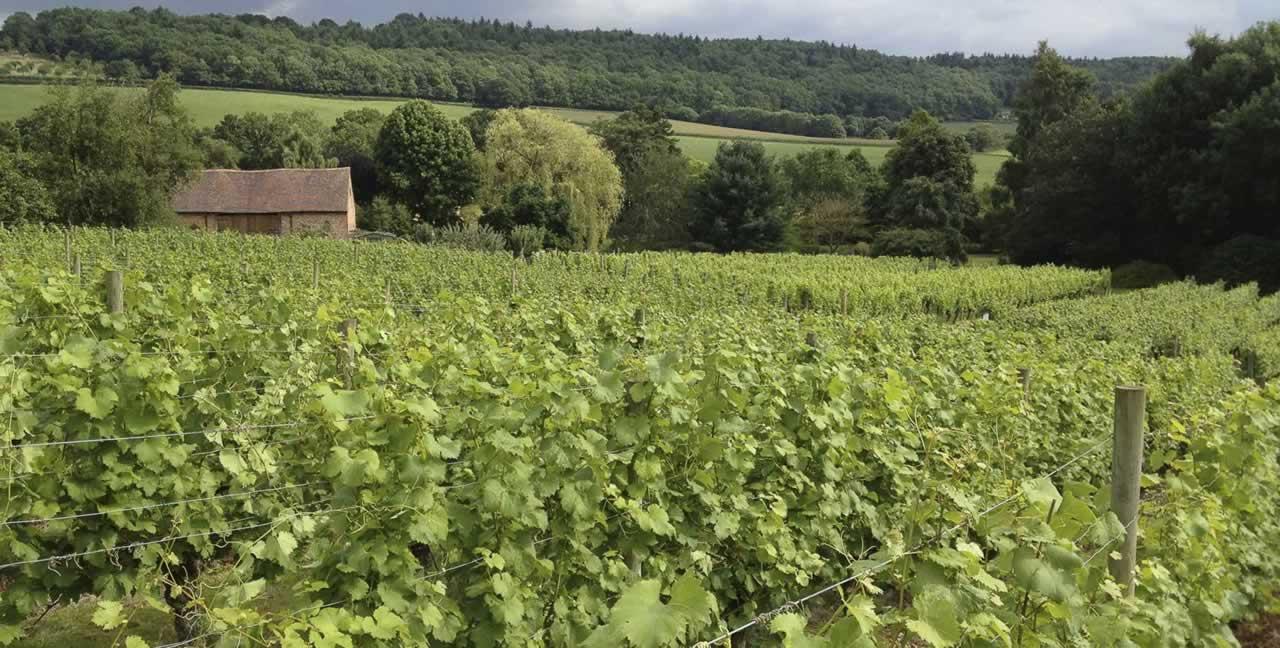 vineyard-in-early-summer