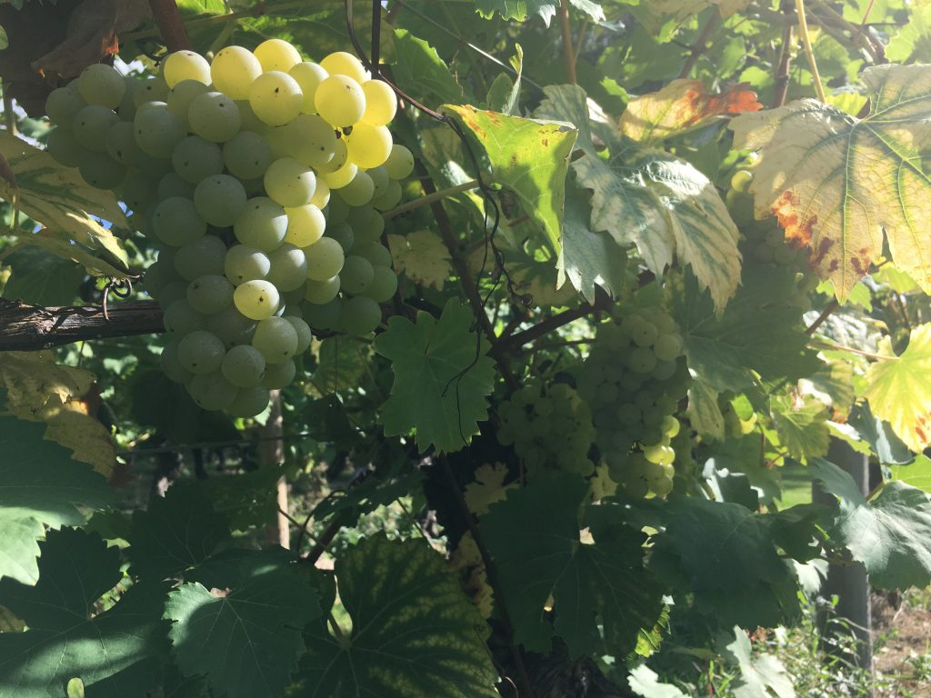plump juicy grapes ready for harvest